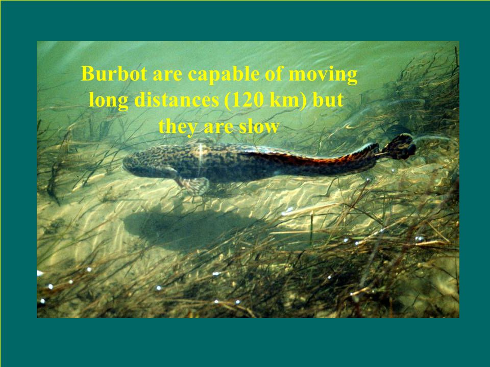Activity Jan April July Sept Dec Month Burbot Activity – time of year Paakkonen (2000) Spawning season