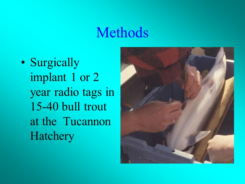 Methods Surgically implant 1 or 2 year radio tags in 15-40 bull trout at the Tucannon Hatchery