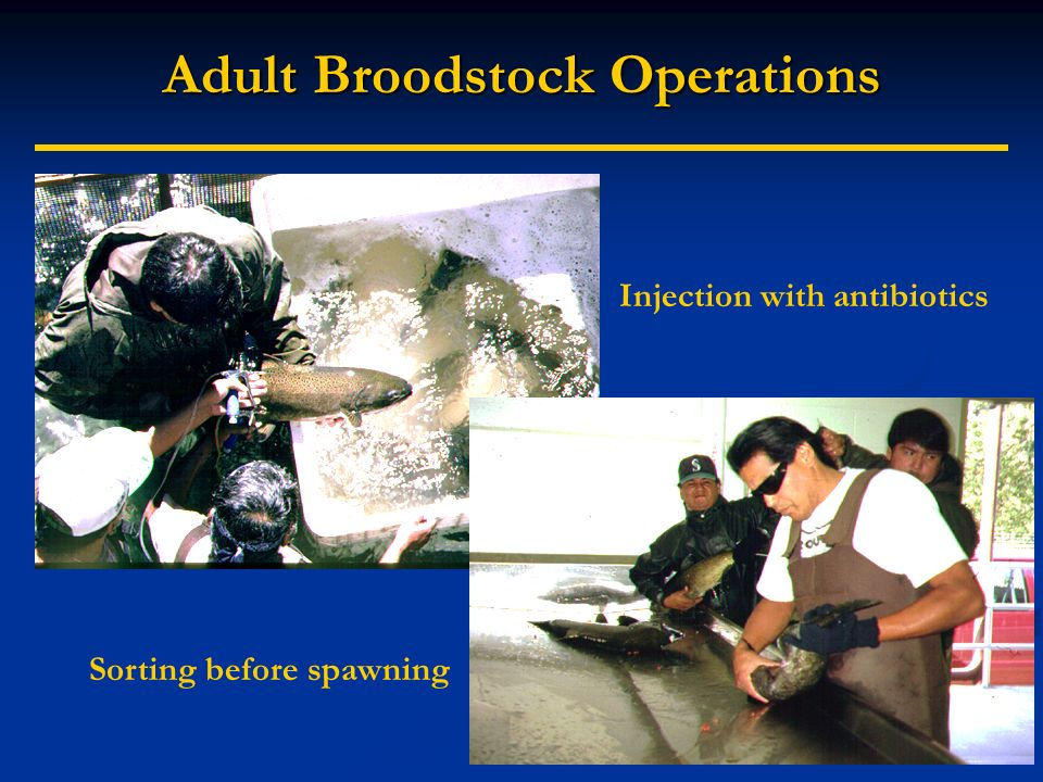 Adult Broodstock Operations Injection with antibiotics Sorting before spawning
