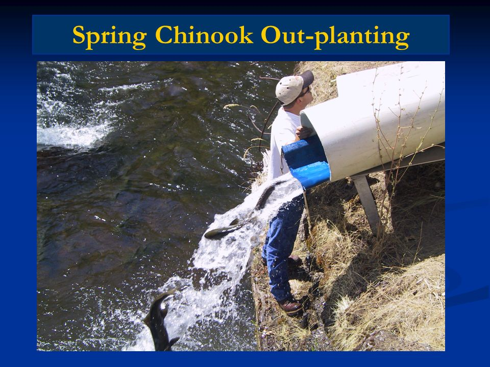 Spring Chinook Out-planting