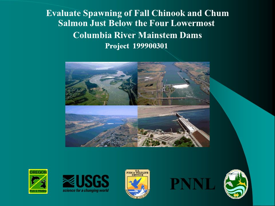 Evaluate Spawning of Fall Chinook and Chum Salmon Just Below the Four Lowermost Columbia River Mainstem Dams Project 199900301 PNNL