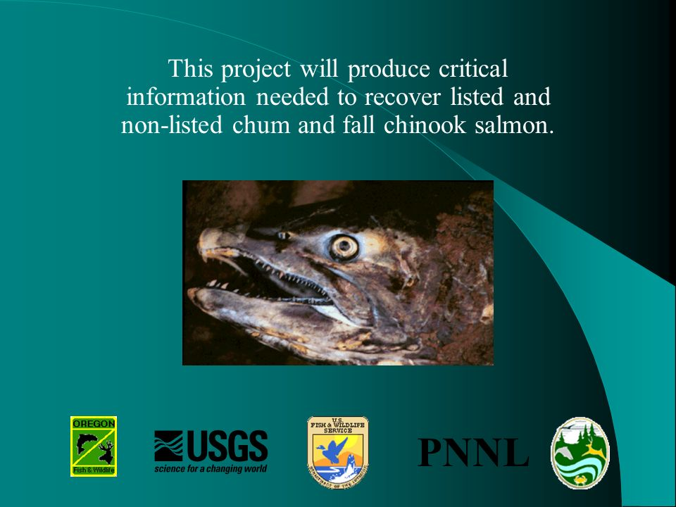 This project will produce critical information needed to recover listed and non-listed chum and fall chinook salmon.