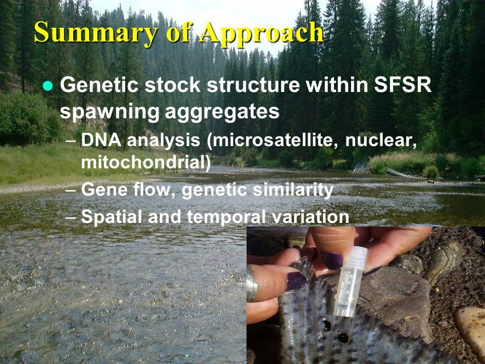 Summary of Approach Genetic stock structure within SFSR spawning aggregates –DNA analysis (microsatellite, nuclear, mitochondrial) –Gene flow, genetic