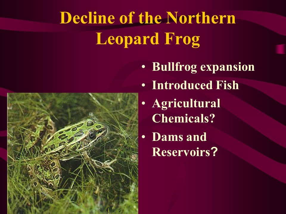 Decline of the Northern Leopard Frog Bullfrog expansion Introduced Fish Agricultural Chemicals.