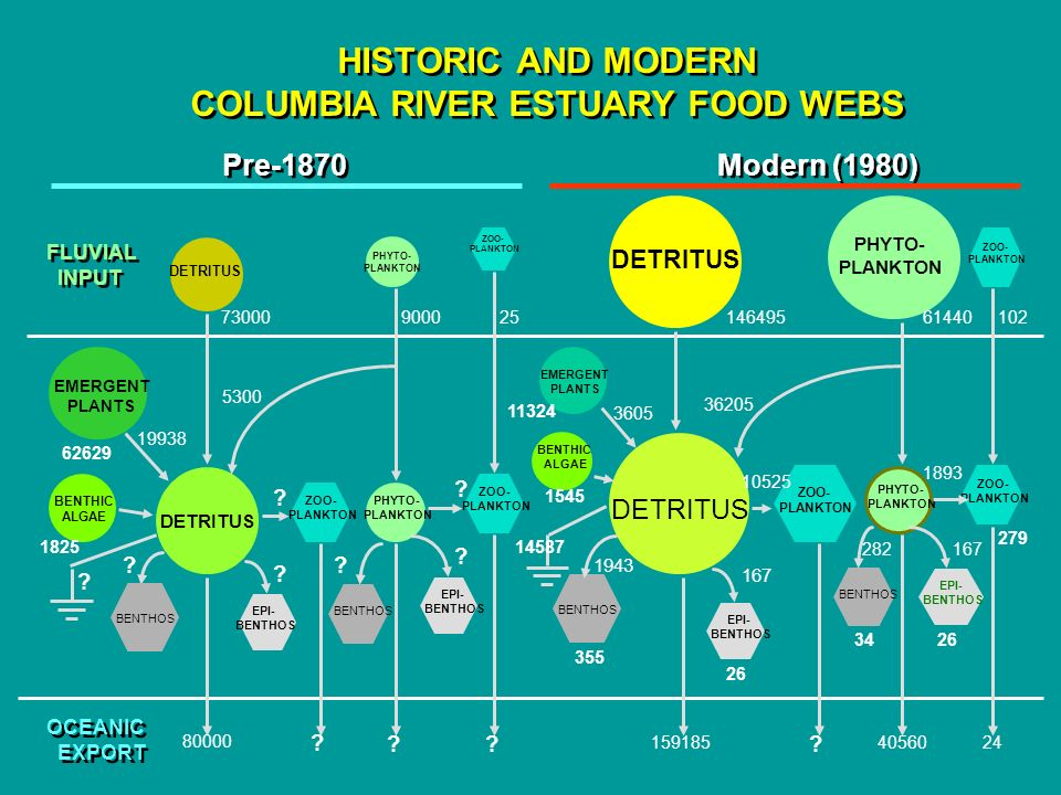 HISTORIC AND MODERN COLUMBIA RIVER ESTUARY FOOD WEBS Pre-1870 Modern (1980) DETRITUS PHYTO- PLANKTON PHYTO- PLANKTON FLUVIAL INPUT FLUVIAL INPUT DETRITUS PHYTO- PLANKTON EMERGENT PLANTS BENTHIC ALGAE PHYTO- PLANKTON DETRITUS ZOO- PLANKTON ZOO- PLANKTON EPI- BENTHOS .