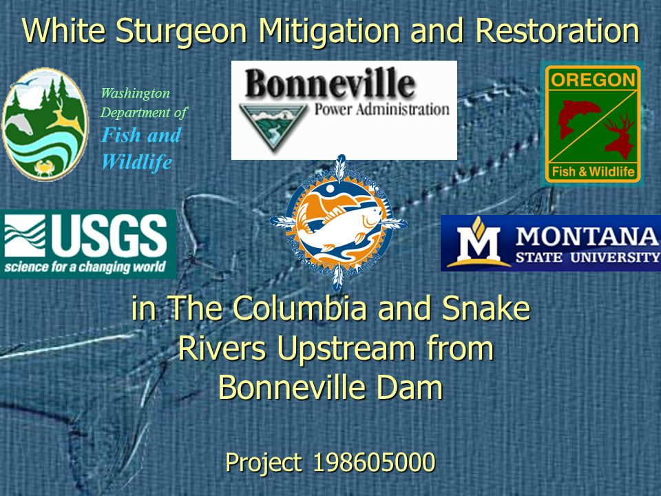 White Sturgeon Mitigation and Restoration in The Columbia and Snake Rivers Upstream from Bonneville Dam Project 198605000 Washington Department of Fish and Wildlife