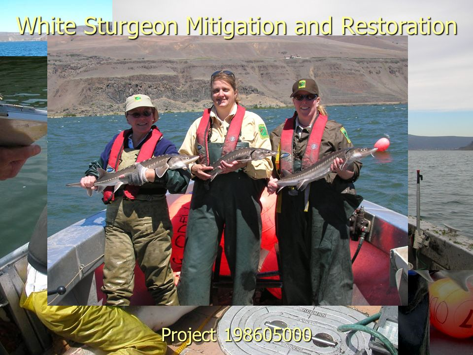 White Sturgeon Mitigation and Restoration Project 198605000