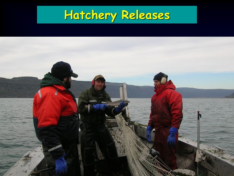 Hatchery Releases Brood YearBrood Source Collected M : FRelease Date Release Location Release Number 1999 McNary/ Wanapum 6 : 3 -- 0 2000McNary 14 : 2 -- 0 2001McNary 23 : 4 Sep-02John Day454 2002 McNary/ LCR 19 : 2 Apr-03Rock Island12,000 2002 McNary/ LCR 19 : 2 Sep-03Rock Island8,600 2003 McNary/ LCR 17 : 3 Sep-03Willamette40,000