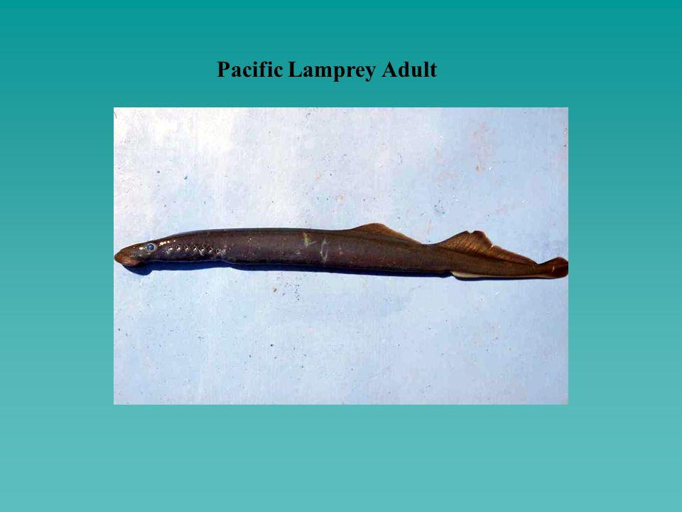 Pacific Lamprey Adult