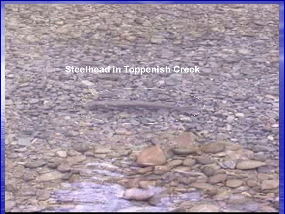 Steelhead in Toppenish Creek