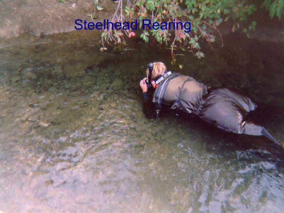 Steelhead Rearing