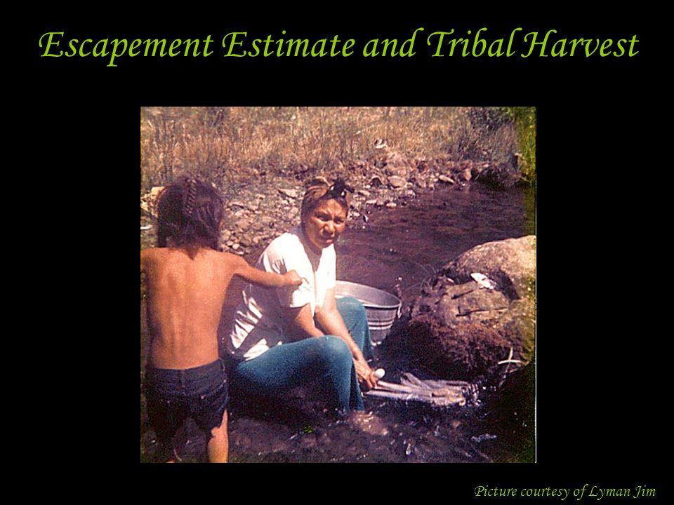 Escapement Estimate and Tribal Harvest Picture courtesy of Lyman Jim