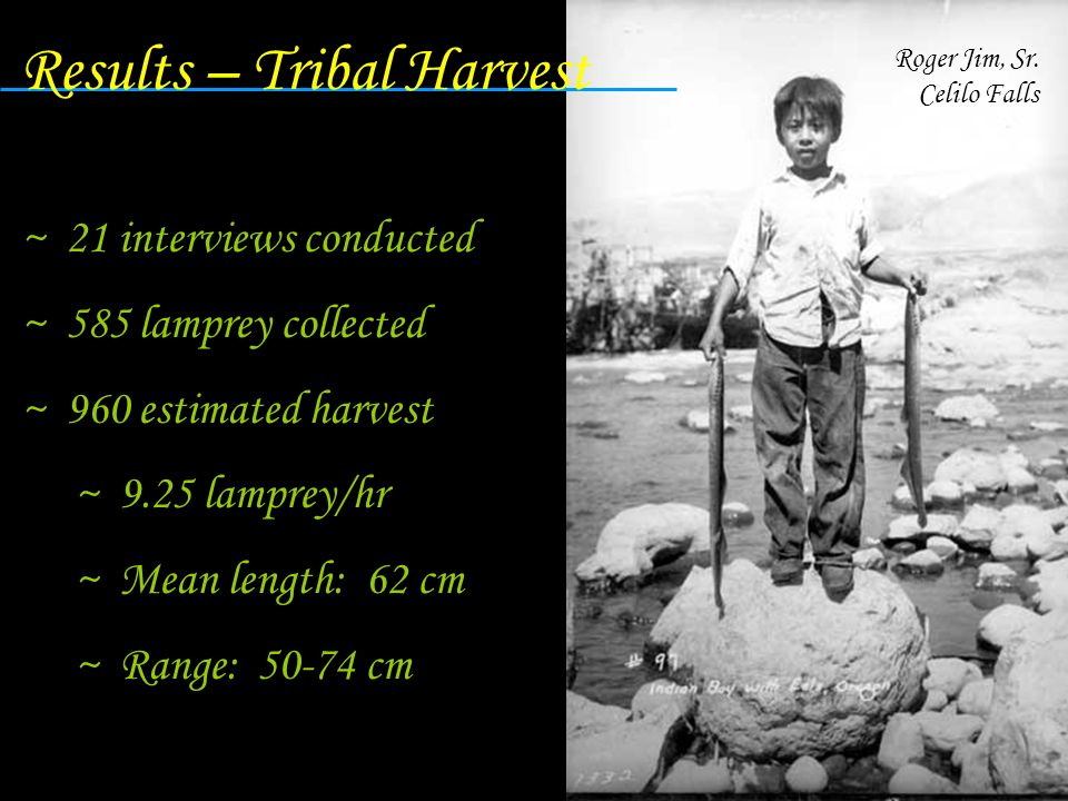 Results – Tribal Harvest ~ 21 interviews conducted ~ 585 lamprey collected ~ 960 estimated harvest ~ 9.25 lamprey/hr ~ Mean length: 62 cm ~ Range: 50-