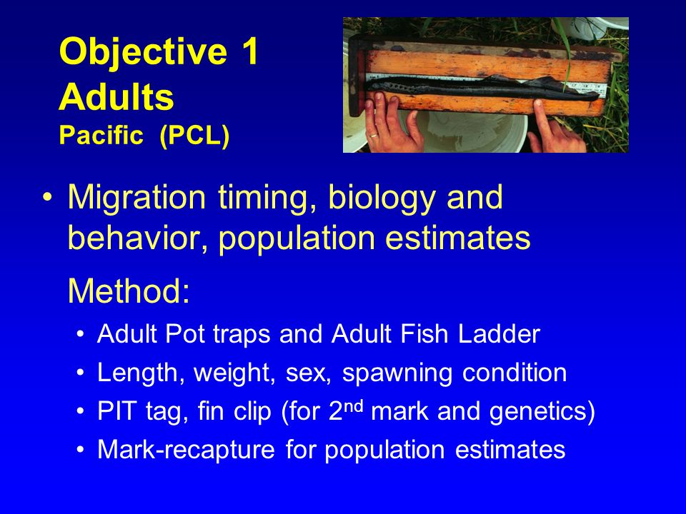 Objective 1 Adults Pacific (PCL) Migration timing, biology and behavior, population estimates Method: Adult Pot traps and Adult Fish Ladder Length, we