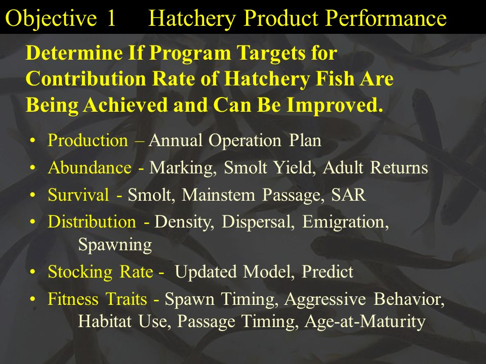 Objective 1 Hatchery Product Performance Production – Annual Operation Plan Abundance - Marking, Smolt Yield, Adult Returns Survival - Smolt, Mainstem Passage, SAR Distribution - Density, Dispersal, Emigration, Spawning Stocking Rate - Updated Model, Predict Fitness Traits - Spawn Timing, Aggressive Behavior, Habitat Use, Passage Timing, Age-at-Maturity Determine If Program Targets for Contribution Rate of Hatchery Fish Are Being Achieved and Can Be Improved.
