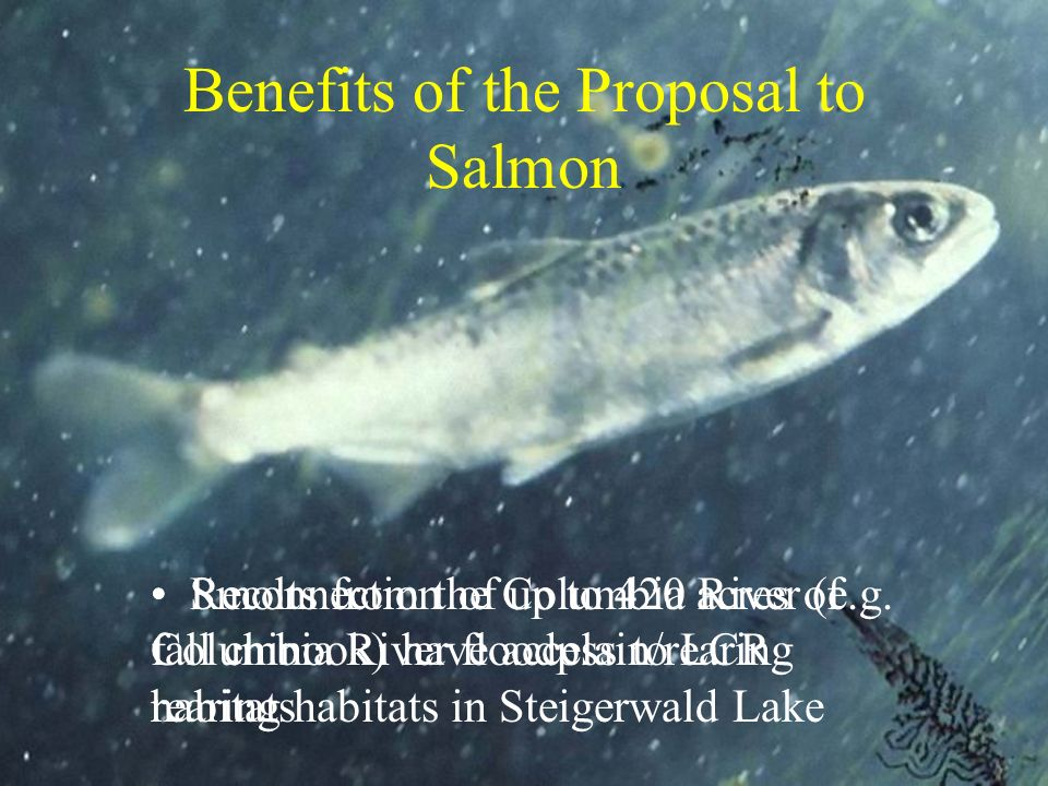 Benefits of the Proposal to Salmon Smolts from the Columbia River (e.g. fall chinook) have access to LCR rearing habitats in Steigerwald Lake Reconnec