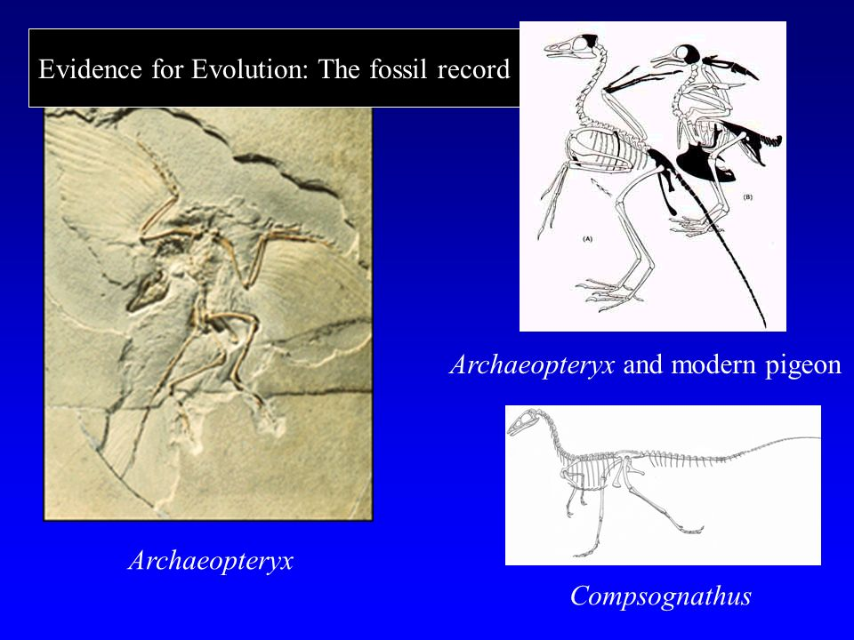 Archaeopteryx Compsognathus Archaeopteryx and modern pigeon Evidence for Evolution: The fossil record