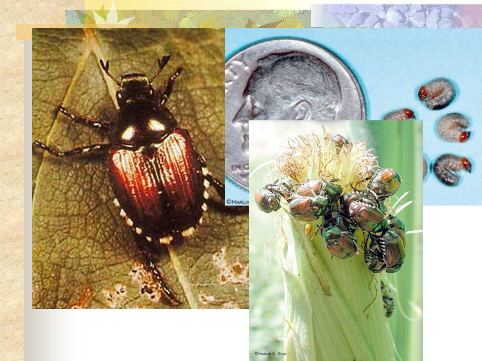 Examples that Work!!!! Spring Tiphia wasp controls the Japanese Beetle.