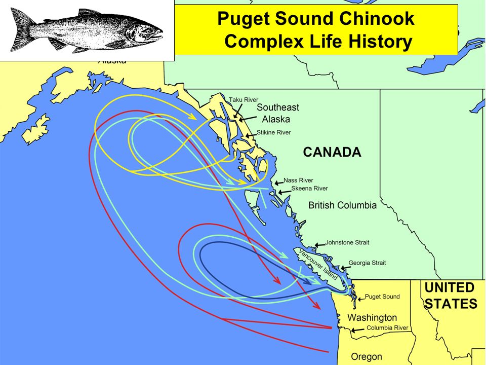 Puget Sound Chinook Complex Life History