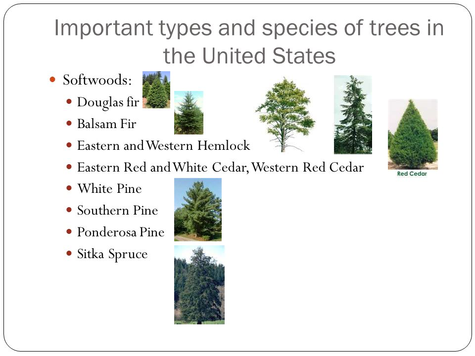Important types and species of trees in the United States Hardwoods: Birch Maple Poplar Sweetgum Oak Aspen Ash Beech Cherry Sycamore Hickory Black Walnut Black Willow