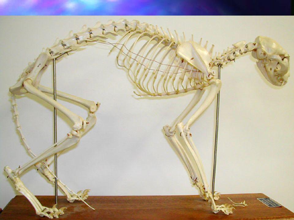 SKELETON nDnDnDnDeveloped for speed and flexibility. nTnTnTnTheir skeleton contains 244 bones –4–4–4–40 more than humans –E–E–E–Extras found in spine