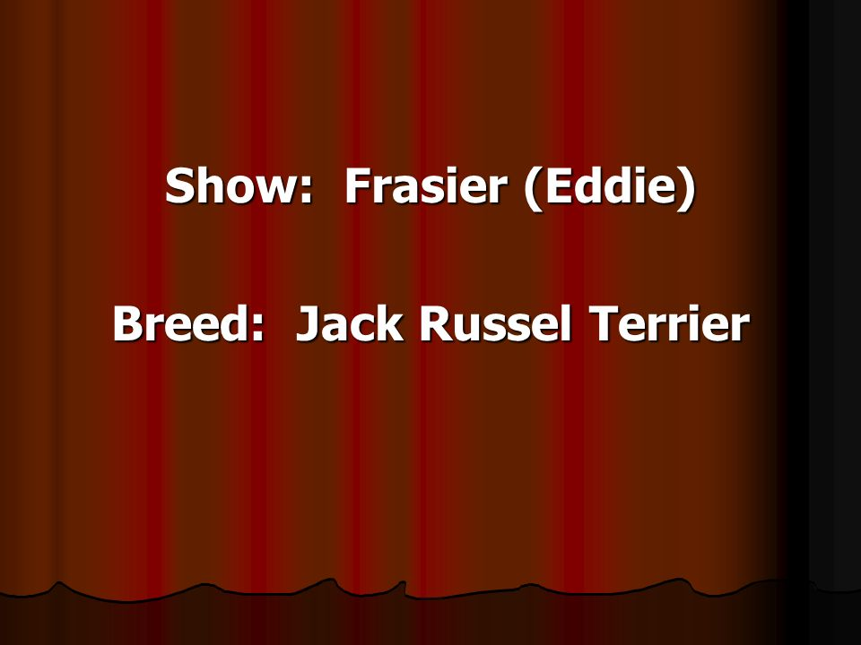 Show: Frasier (Eddie) Breed: Jack Russel Terrier