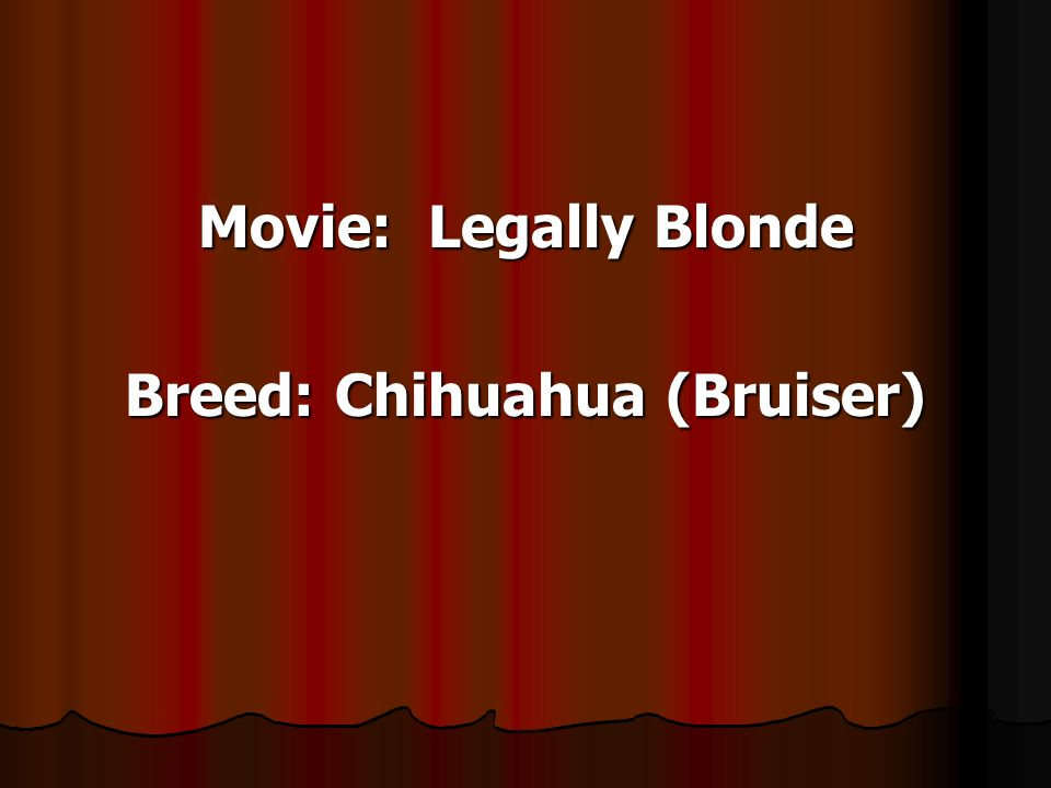 Movie: Legally Blonde Breed: Chihuahua (Bruiser)