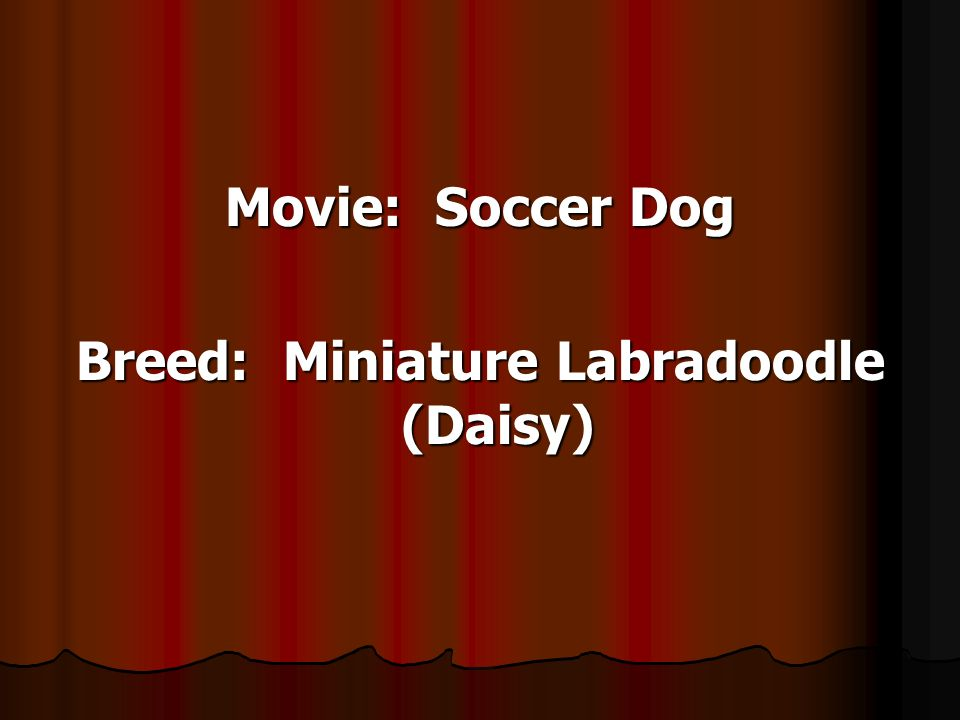 Movie: Soccer Dog Breed: Miniature Labradoodle (Daisy)