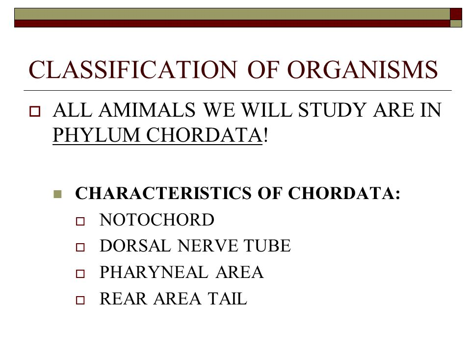 CLASSIFICATION OF ORGANISMS ALL AMIMALS WE WILL STUDY ARE IN PHYLUM CHORDATA.
