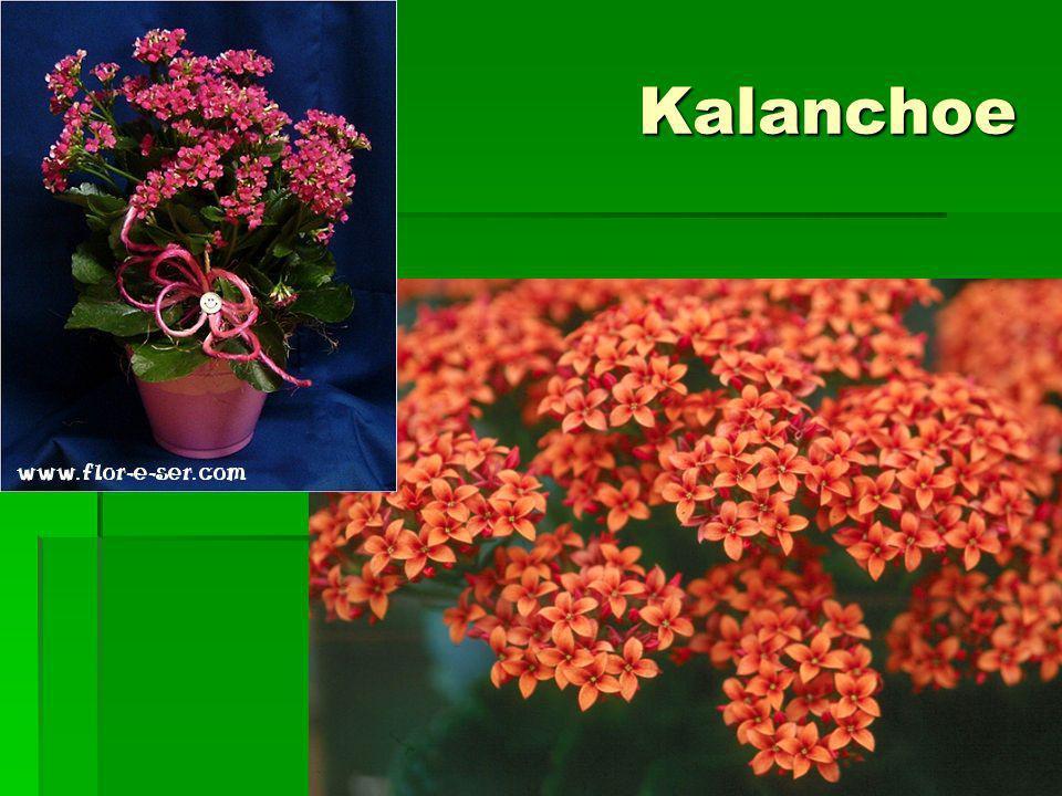 Kalanchoe