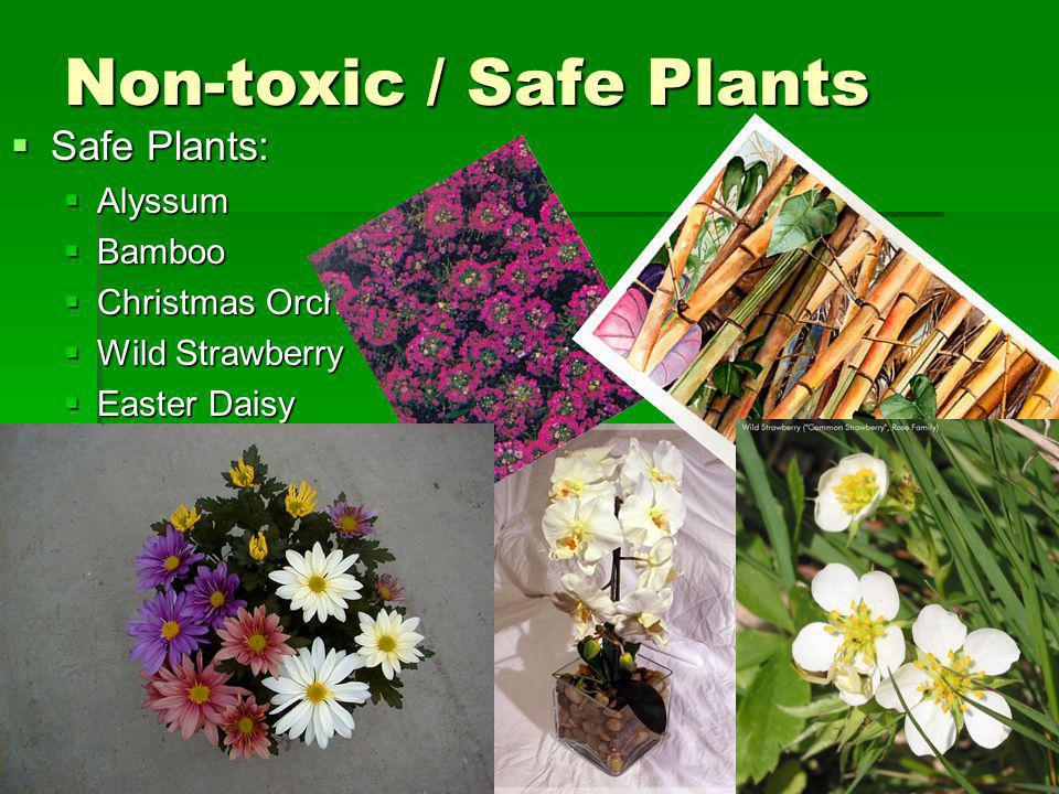 Non-toxic / Safe Plants Safe Plants: Safe Plants: Alyssum Alyssum Bamboo Bamboo Christmas Orchid Christmas Orchid Wild Strawberry Wild Strawberry Easter Daisy Easter Daisy