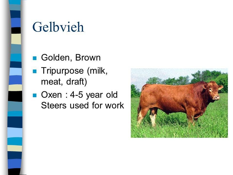 Gelbvieh n Golden, Brown n Tripurpose (milk, meat, draft) n Oxen : 4-5 year old Steers used for work