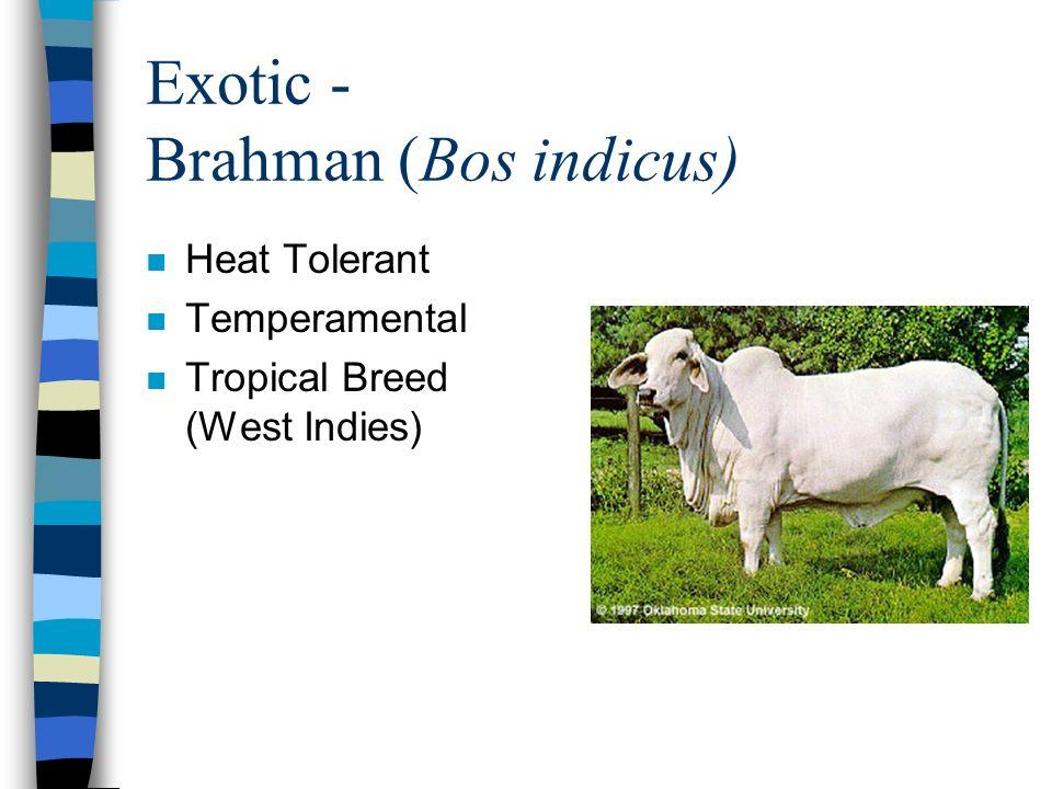 Exotic - Brahman (Bos indicus) n Heat Tolerant n Temperamental n Tropical Breed (West Indies)