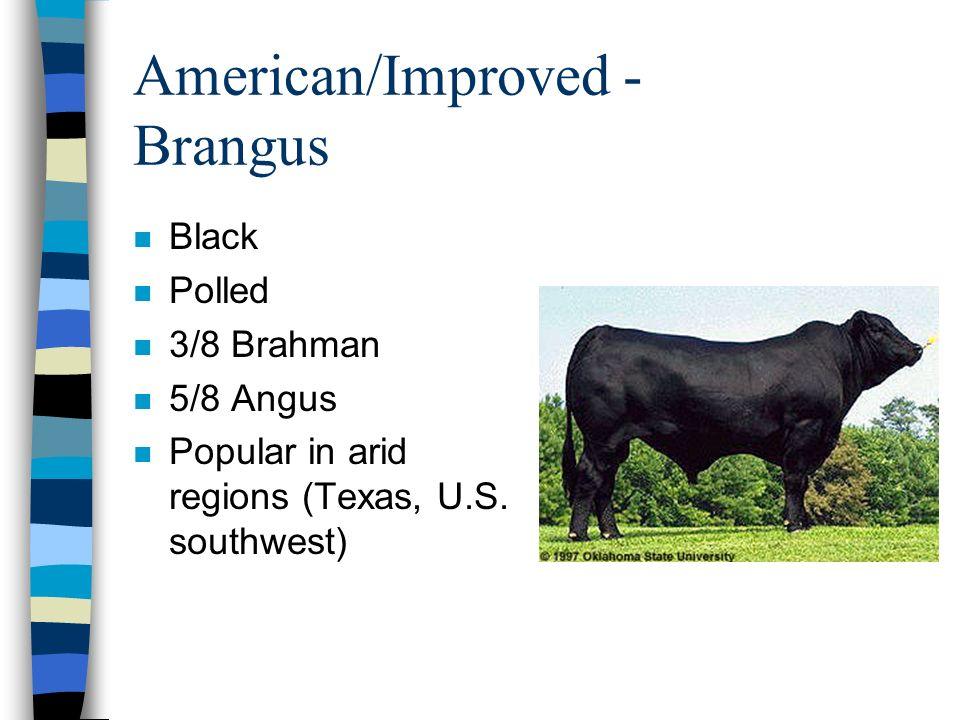 American/Improved - Brangus n Black n Polled n 3/8 Brahman n 5/8 Angus n Popular in arid regions (Texas, U.S.