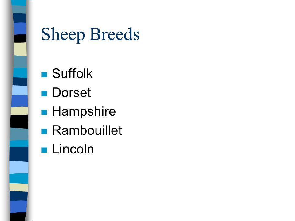 Sheep Breeds n Suffolk n Dorset n Hampshire n Rambouillet n Lincoln