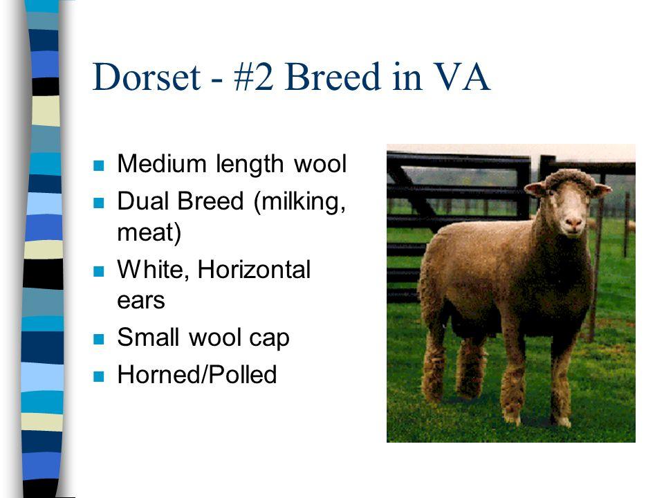 Dorset - #2 Breed in VA n Medium length wool n Dual Breed (milking, meat) n White, Horizontal ears n Small wool cap n Horned/Polled