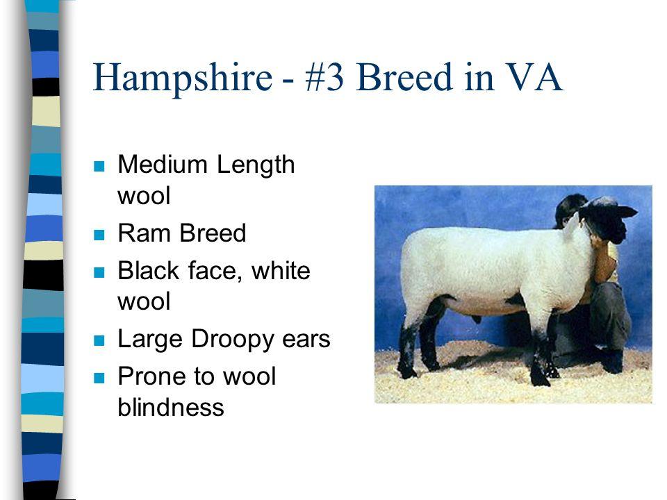 Hampshire - #3 Breed in VA n Medium Length wool n Ram Breed n Black face, white wool n Large Droopy ears n Prone to wool blindness