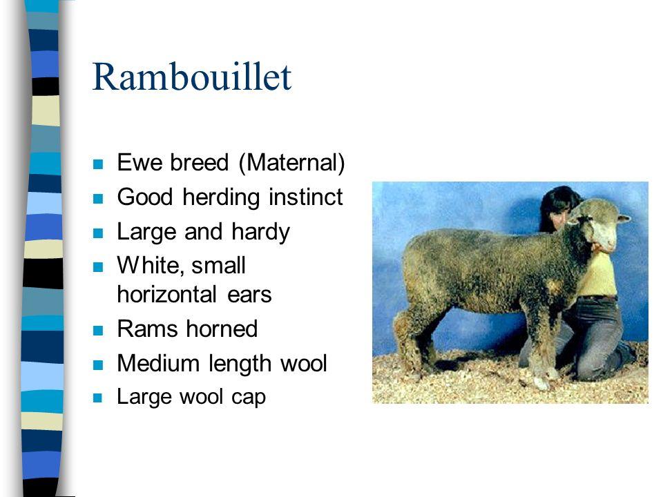 Rambouillet n Ewe breed (Maternal) n Good herding instinct n Large and hardy n White, small horizontal ears n Rams horned n Medium length wool n Large wool cap