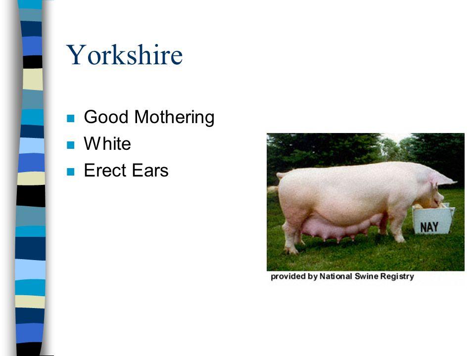 Yorkshire n Good Mothering n White n Erect Ears
