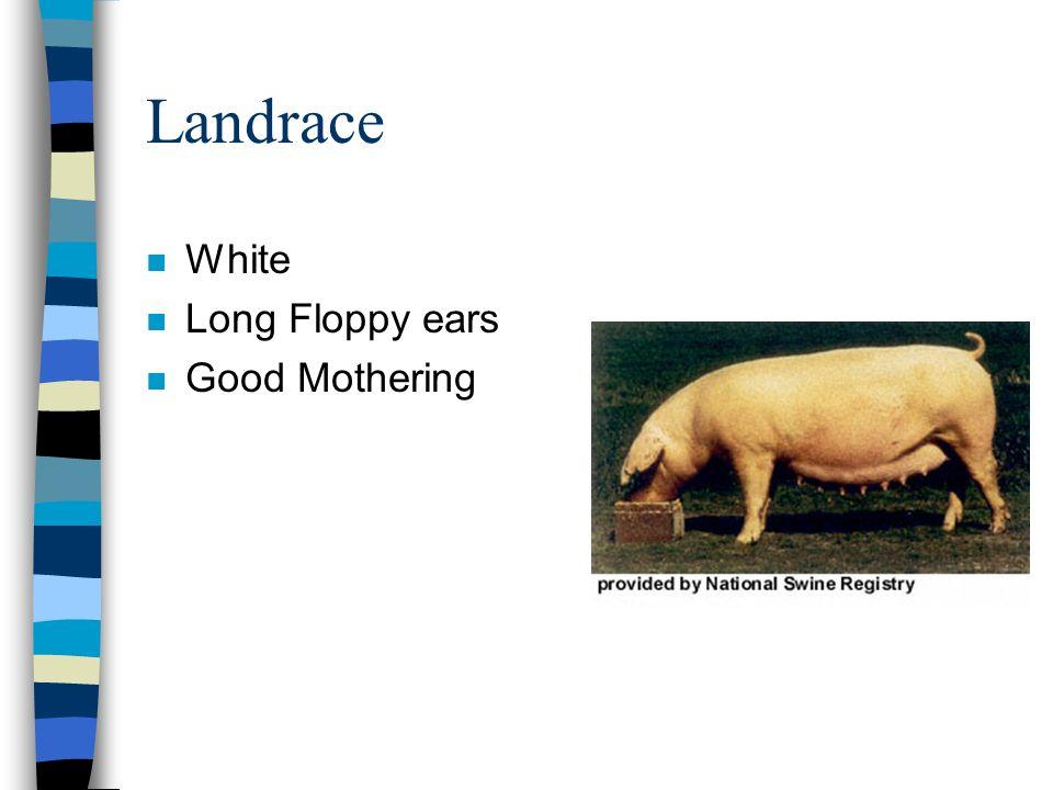 Landrace n White n Long Floppy ears n Good Mothering
