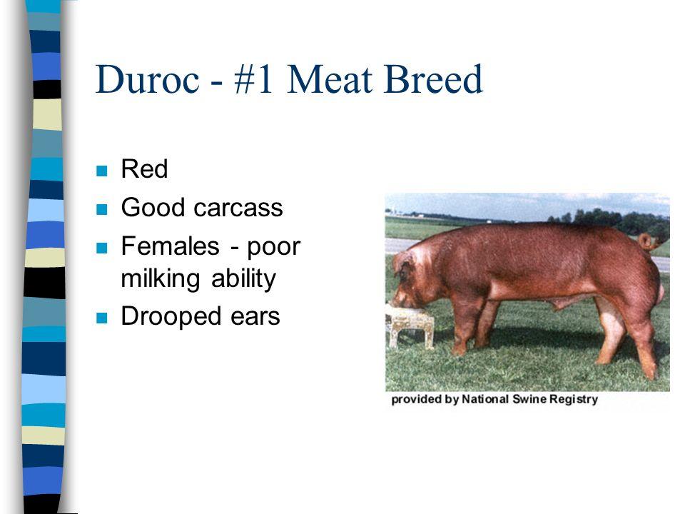 Duroc - #1 Meat Breed n Red n Good carcass n Females - poor milking ability n Drooped ears