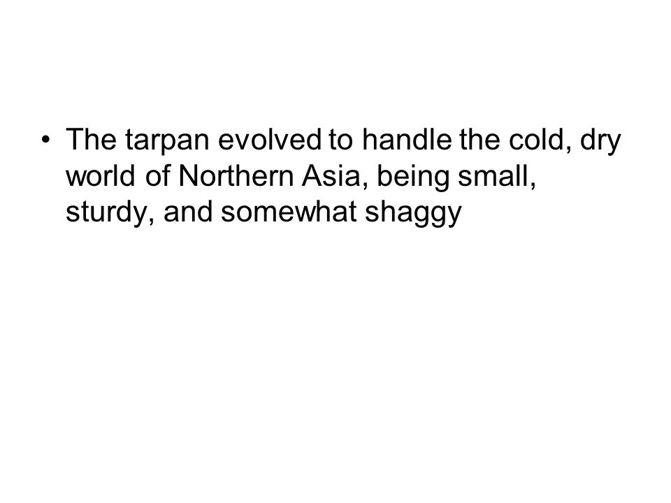The tarpan evolved to handle the cold, dry world of Northern Asia, being small, sturdy, and somewhat shaggy