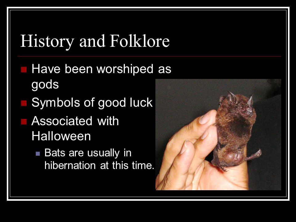 History and Folklore Have been worshiped as gods Symbols of good luck Associated with Halloween Bats are usually in hibernation at this time.
