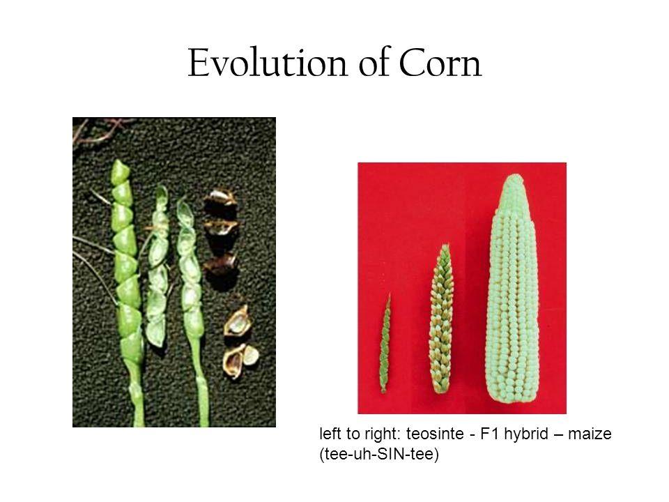 Evolution of Corn left to right: teosinte - F1 hybrid – maize (tee-uh-SIN-tee)