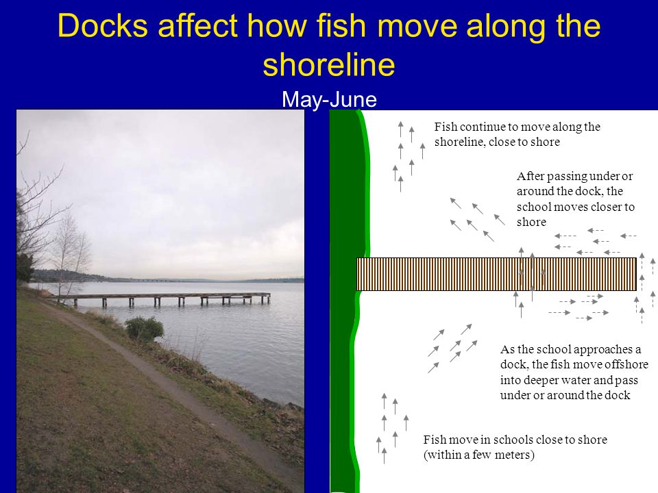 Docks affect how fish move along the shoreline Fish move in schools close to shore (within a few meters) After passing under or around the dock, the school moves closer to shore As the school approaches a dock, the fish move offshore into deeper water and pass under or around the dock Fish continue to move along the shoreline, close to shore May-June