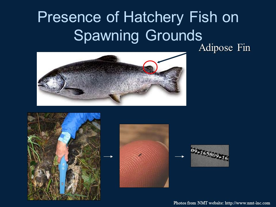 Presence of Hatchery Fish on Spawning Grounds Adipose Fin Photos from NMT website: http://www.nmt-inc.com