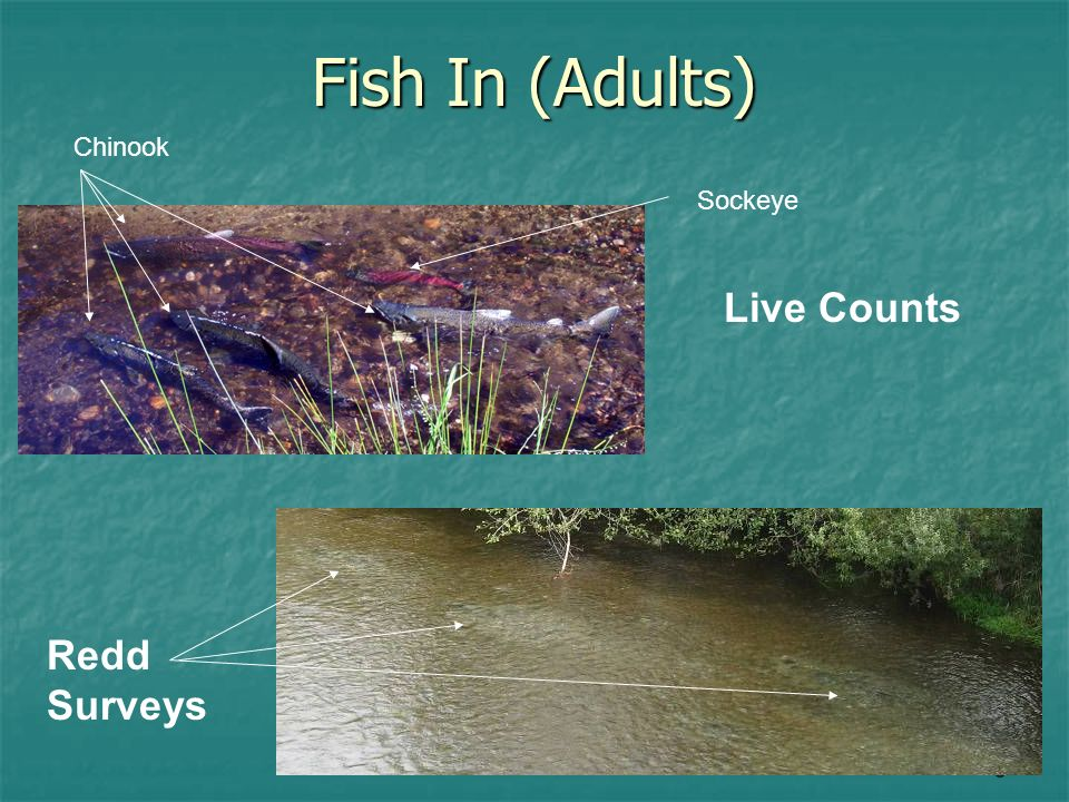 8 Fish In (Adults) Live Counts Redd Surveys Sockeye Chinook