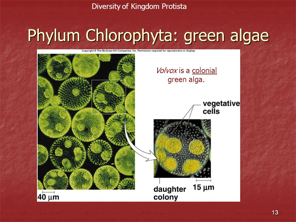 14 Green Algae Pediastrum, a flat colony of green algae Pediastrum, a flat colony of green algae