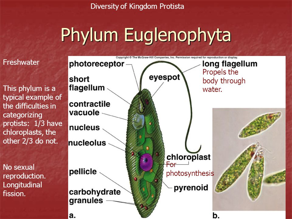 24 Phylum Euglenophyta Freshwater This phylum is a typical example of the difficulties in categorizing protists: 1/3 have chloroplasts, the other 2/3