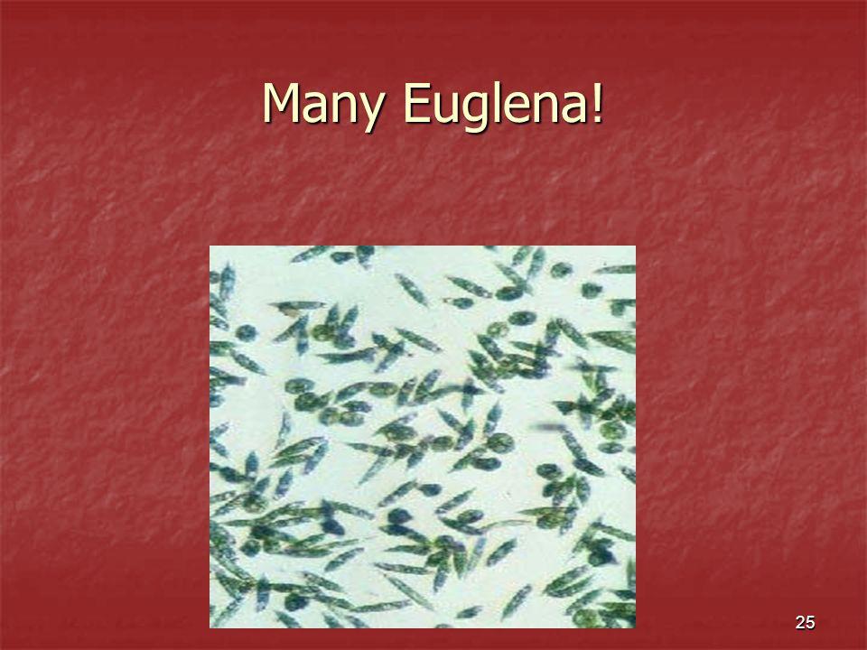 25 Many Euglena!